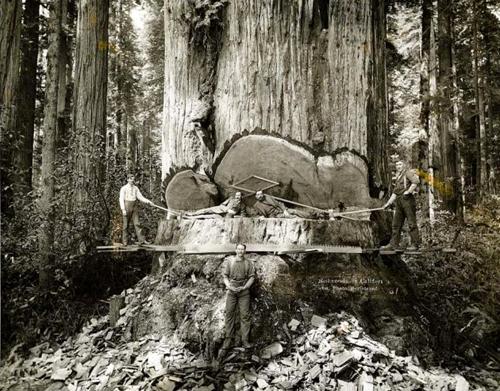 gros-arbre-coupe-04