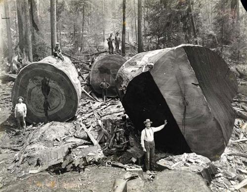 gros-arbre-coupe-05