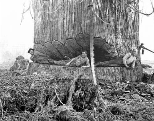 gros-arbre-coupe-08