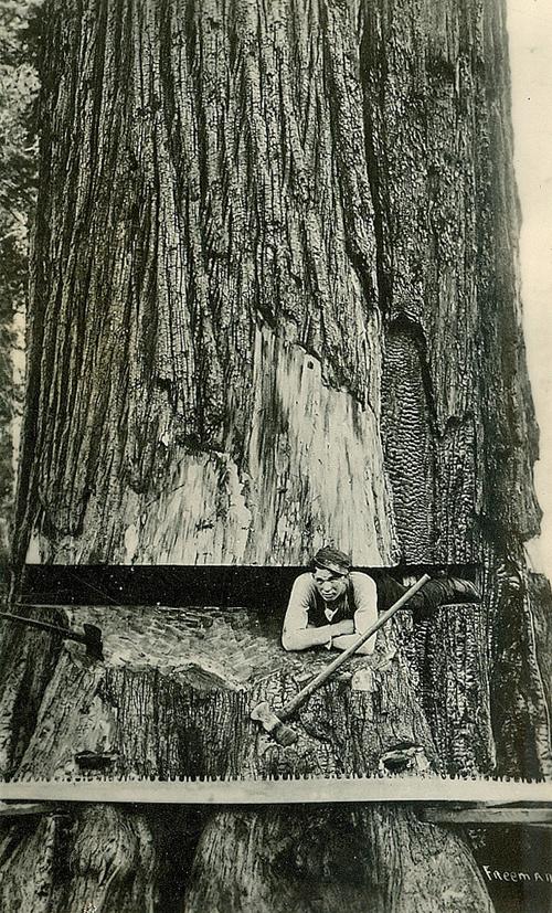 gros-arbre-coupe-10